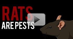 Rats-Rodents-Pest-Control-video